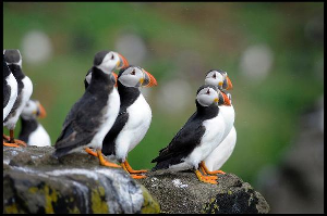 TDT3-puffins